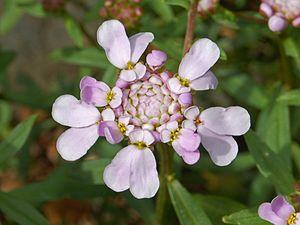 Iberis umbellata - Flower of Iberis umbellata
