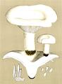 Bresadola - Lactarius piperatus.png