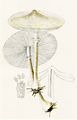Bresadola - Lepiota mastoidea.png
