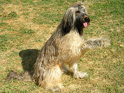 definition of briard