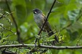Bridled Sparrow - Oaxaca - Mexico S4E9190 (23024344799).jpg