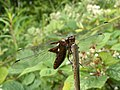 Broad bodied chaser dragon fly (1) - geograph.org.uk - 1985365.jpg