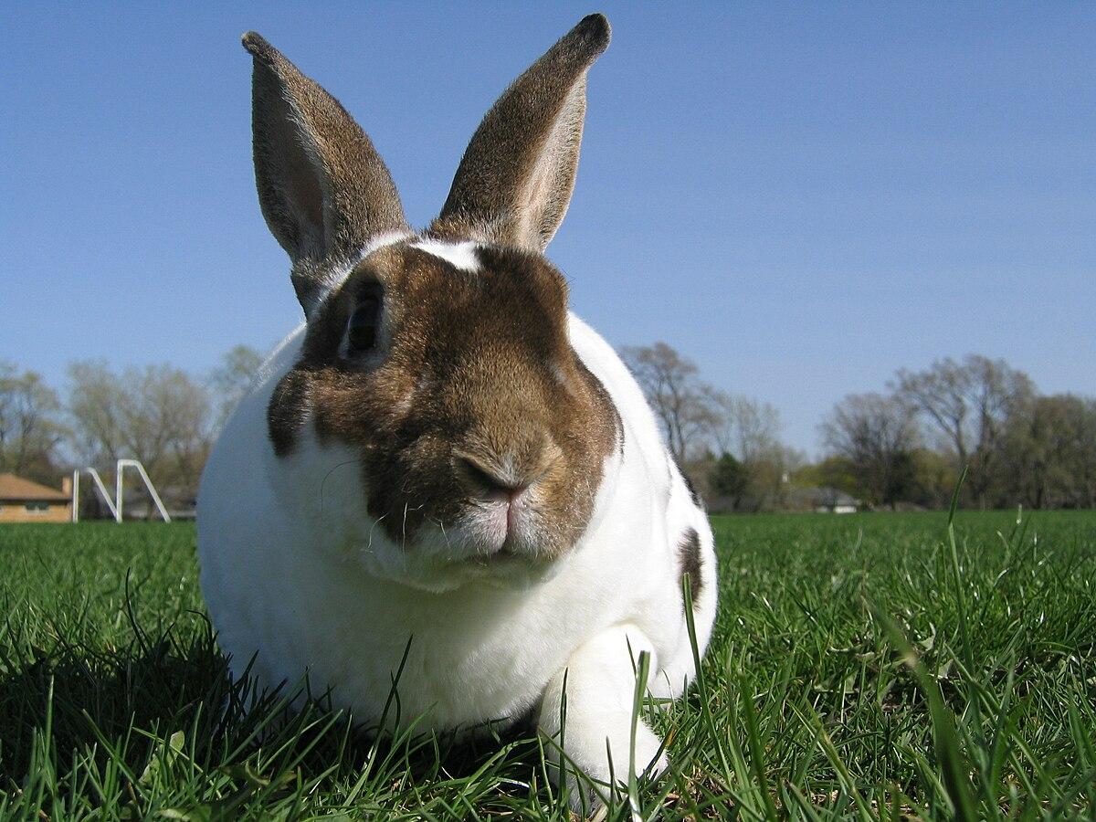 Rex rabbit - Wikipedia