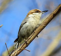 Brown-headed Nuthatch Greenville County, South Carolina.jpg