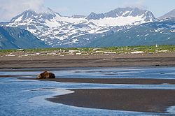 Brunbjørn i Katmai National Park
