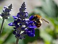 Brown Bumblebee.jpg