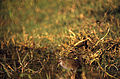 Brown Crake (Amaurornis akool) (20808925515).jpg