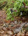 Brown Thrasher From The Crossley ID Guide Eastern Birds.jpg