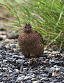 Brown quail head on - Christopher Watson.jpg