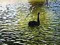 Bucuresti, Romania, Parcul Herastrau (Imagine de pe lacul Herastrau)(din episodul Lebada Neagra, 1); B-II-a-A-18802.JPG