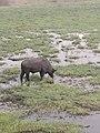 Buffalo grazing in Sedudu Island.jpg