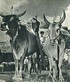 Buffalo in Sulawesi, Indonesia Tanah Airku, p36.jpg