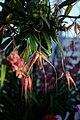 Bulbophyllum Elizabeth Ann Buckleberry - Internationale Orchideen- und Tillandsienschau Blumengärten Hirschstetten 2016 a.jpg