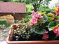 Bumblebee on Begonia x semperflorens-cultorum publicdomain tbf - 30.jpg