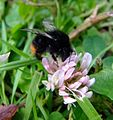 Bumblebee on clover, Ely, Cambridgeshire (7170140217).jpg