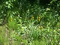 Bunch of yellow lady slippers.jpg