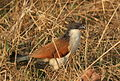 Burchell's Coucal, Centropus burchelli at Borakalalo National Park, South Africa (9856876013).jpg