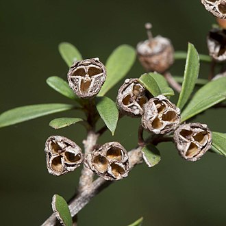 Kunzea ericoides - Image: Burgan fruit