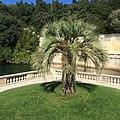 Butia odorata - Nîmes Jardin de la fontaine (sept 2015)-1.jpg