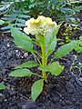 Célosia cristata plante jaune 2.JPG