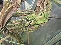 CBN Aristolochia gigantea 2015-08-02 Tsaag Valren 1 (20046736209).jpg