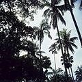 COLLECTIE TROPENMUSEUM Palmen in de Kebun Raya Bogor TMnr 20025530.jpg