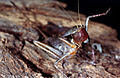 CSIRO ScienceImage 177 A Pachysag Grasshopper.jpg