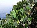 Cactii Near Vernazza (4711612199).jpg