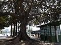 Cagliari Ficus trees 3.jpg