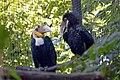 Calao festonné (Zoo-Amiens).JPG