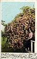 California - California Roses (NBY 432288).jpg