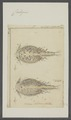 Caligus spec. - - Print - Iconographia Zoologica - Special Collections University of Amsterdam - UBAINV0274 100 03 0012.tif