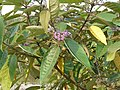 Callicarpa macrophylla P1020028.JPG
