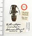 Callimetopus latemaculatus Breuning (5189156551).jpg