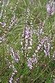 Calluna vulgaris, Mouthe - img 23027.jpg