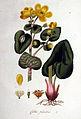 Caltha palustris — Flora Batava — Volume v1.jpg