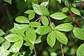 Calycanthus floridus 38zz.jpg