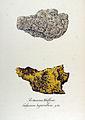 Calycium hyperellum — Flora Batava — Volume v12.jpg