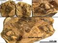 Calymene Devonian Erfoud Morocco nodule EN.png