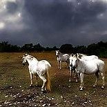 Camargue Horses.jpg