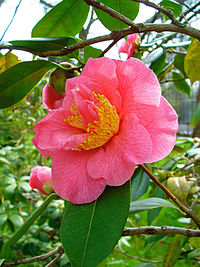 Camellia japonica 002.JPG