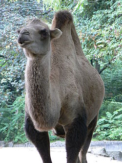 Camelus ferus Bactianus hamburg zoo.JPG