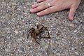 Camp Roberts Tarantula -c.jpg
