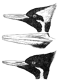 Campephilus principalisAPP049LA.png