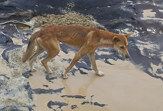"Dingo - Dingo showing its usual ""white socked"" feet and scarring"