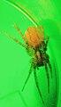 Cantelope Spider gravid2.jpg