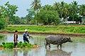 Carabao farmer.jpg