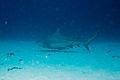 Carcharhinus leucas playa del carmen.jpg