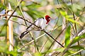 Cardeal-do-nordeste (Paroaria dominicana) - Red-cowled Cardinal.jpg