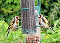 Carduelis carduelis -United Kingdom -two at garden bird feeder-8.jpg